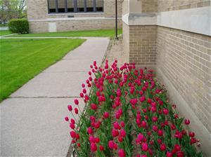 Spring Tulips at Town Hall